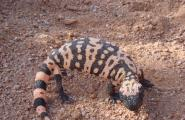 Desert Gila Monster